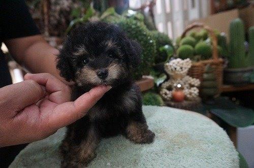 トイプードルの子犬(ID:1231011555)の3枚目の写真/更新日:2020-09-10