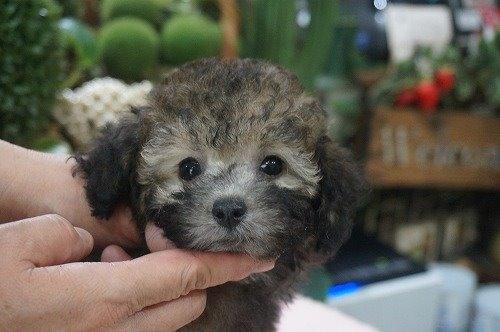 トイプードルの子犬(ID:1231011556)の1枚目の写真/更新日:2020-09-10