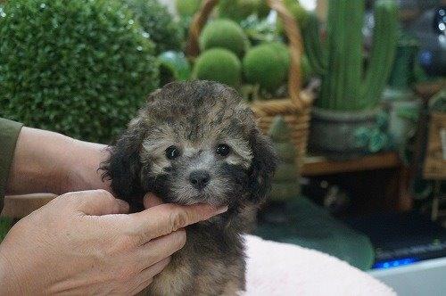 トイプードルの子犬(ID:1231011556)の2枚目の写真/更新日:2020-09-10