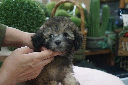 トイプードルの子犬(ID:1231011556)の3枚目の写真/更新日:2020-09-10