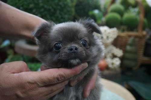 チワワ(ロング)の子犬(ID:1231011557)の1枚目の写真/更新日:2020-09-16