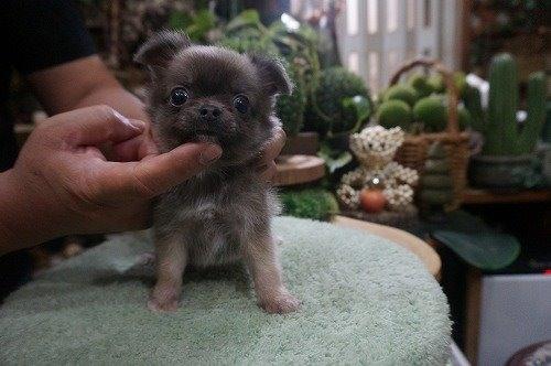 チワワ(ロング)の子犬(ID:1231011557)の2枚目の写真/更新日:2020-09-16
