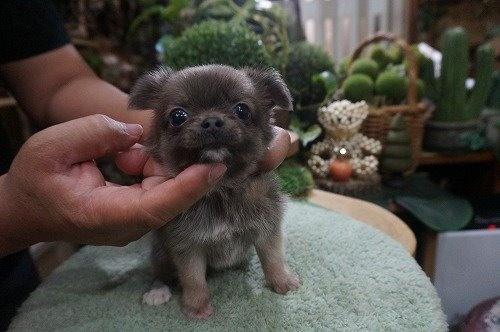 チワワ(ロング)の子犬(ID:1231011557)の3枚目の写真/更新日:2020-09-16