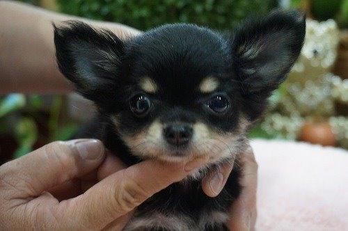 チワワ(ロング)の子犬(ID:1231011558)の1枚目の写真/更新日:2020-10-17