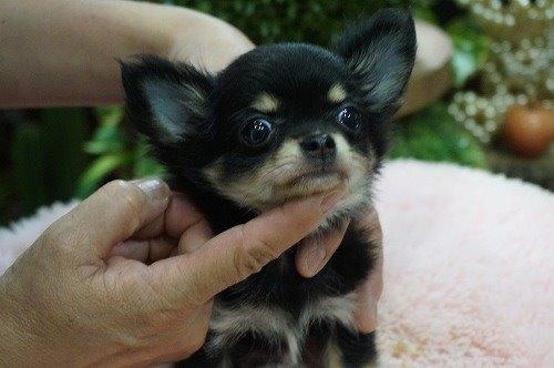 チワワ(ロング)の子犬(ID:1231011558)の2枚目の写真/更新日:2020-10-17