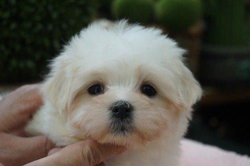 マルチーズの子犬(ID:1231011565)の1枚目の写真/更新日:2020-12-10
