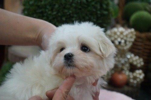マルチーズの子犬(ID:1231011565)の2枚目の写真/更新日:2020-12-10