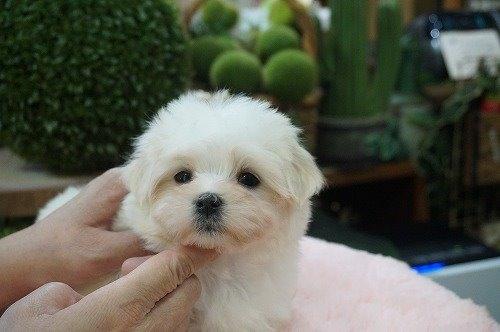 マルチーズの子犬(ID:1231011565)の3枚目の写真/更新日:2020-12-10
