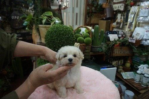 マルチーズの子犬(ID:1231011566)の3枚目の写真/更新日:2020-12-10