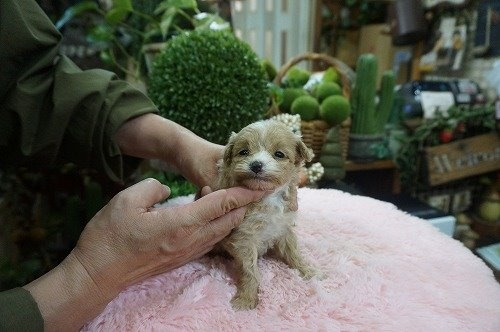 ミックスの子犬(ID:1231011572)の2枚目の写真/更新日:2020-12-25
