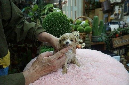 ミックスの子犬(ID:1231011572)の3枚目の写真/更新日:2020-12-25