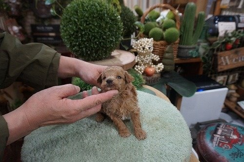 トイプードルの子犬(ID:1231011574)の3枚目の写真/更新日:2020-12-25