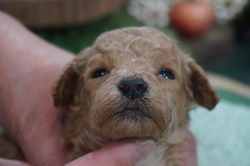 トイプードルの子犬(ID:1231011575)の1枚目の写真/更新日:2020-12-25