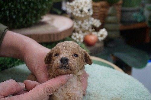 トイプードルの子犬(ID:1231011575)の2枚目の写真/更新日:2020-12-25