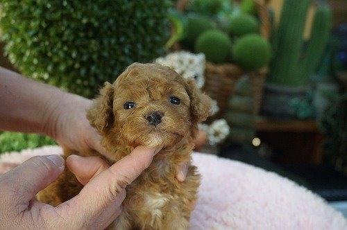 トイプードルの子犬(ID:1231011576)の3枚目の写真/更新日:2020-12-31