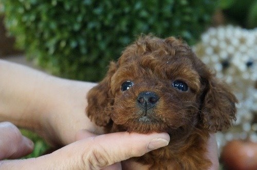 トイプードルの子犬(ID:1231011577)の1枚目の写真/更新日:2021-01-07