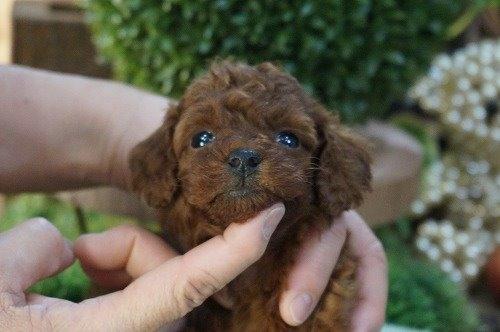 トイプードルの子犬(ID:1231011577)の2枚目の写真/更新日:2021-01-07