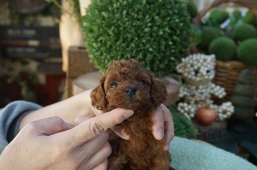 トイプードルの子犬(ID:1231011577)の3枚目の写真/更新日:2021-01-07