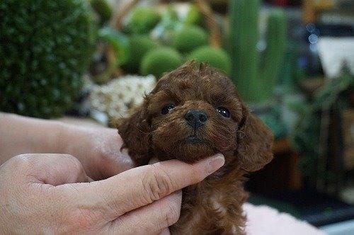 トイプードルの子犬(ID:1231011578)の1枚目の写真/更新日:2021-01-10