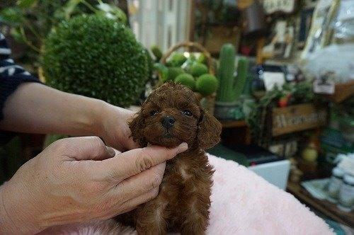 トイプードルの子犬(ID:1231011578)の3枚目の写真/更新日:2021-01-10