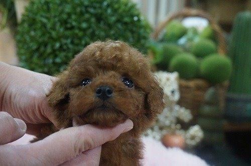 トイプードルの子犬(ID:1231011579)の1枚目の写真/更新日:2021-01-13