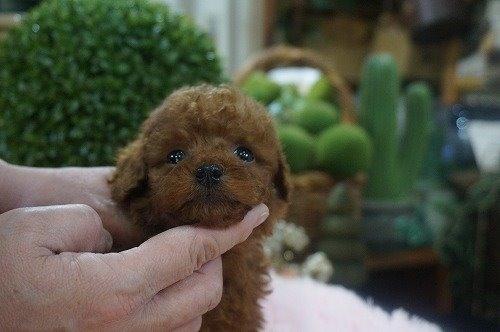トイプードルの子犬(ID:1231011579)の2枚目の写真/更新日:2021-01-13