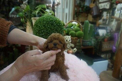 トイプードルの子犬(ID:1231011579)の3枚目の写真/更新日:2021-01-13