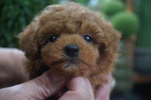 トイプードルの子犬(ID:1231011581)の1枚目の写真/更新日:2021-01-23