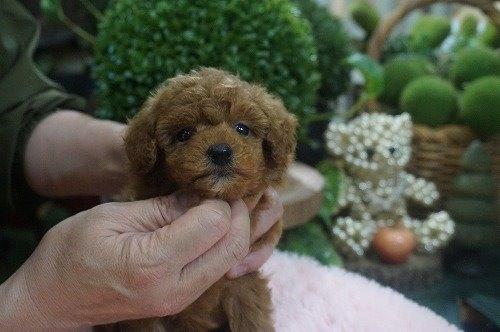 トイプードルの子犬(ID:1231011581)の2枚目の写真/更新日:2021-01-23