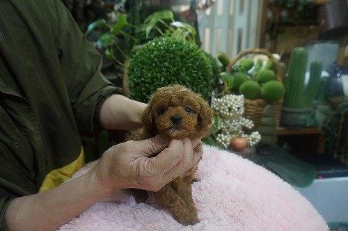 トイプードルの子犬(ID:1231011581)の3枚目の写真/更新日:2021-01-23