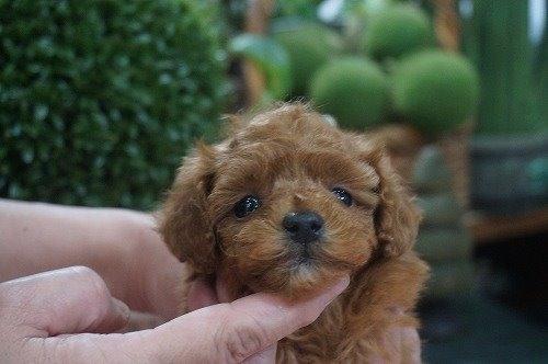 トイプードルの子犬(ID:1231011582)の2枚目の写真/更新日:2021-01-23