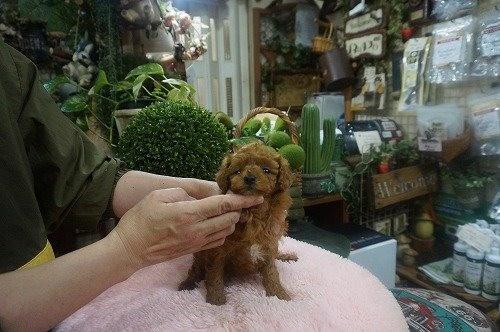 トイプードルの子犬(ID:1231011582)の3枚目の写真/更新日:2021-01-23