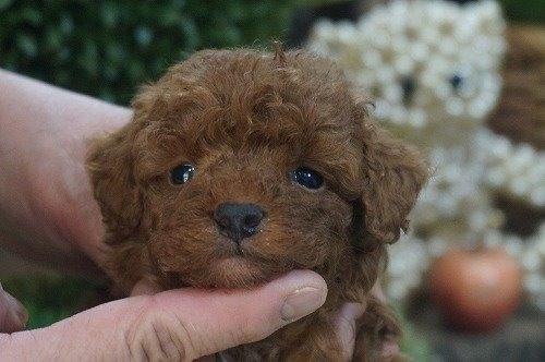 トイプードルの子犬(ID:1231011585)の1枚目の写真/更新日:2021-02-11