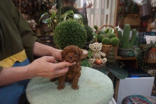 トイプードルの子犬(ID:1231011585)の3枚目の写真/更新日:2021-02-11