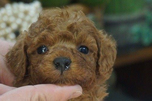 トイプードルの子犬(ID:1231011586)の1枚目の写真/更新日:2021-02-12