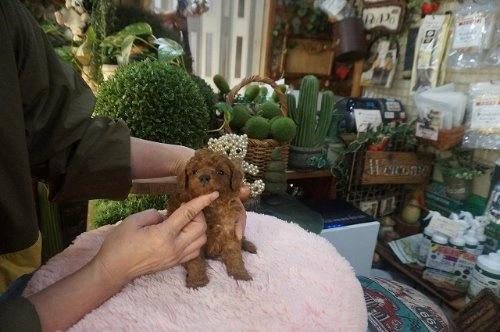 トイプードルの子犬(ID:1231011586)の3枚目の写真/更新日:2021-02-12