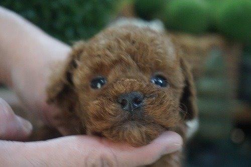 トイプードルの子犬(ID:1231011587)の1枚目の写真/更新日:2021-02-23