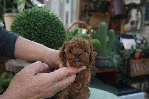 トイプードルの子犬(ID:1231011587)の2枚目の写真/更新日:2021-02-23