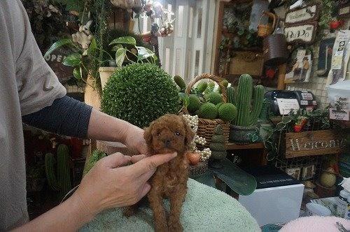 トイプードルの子犬(ID:1231011587)の3枚目の写真/更新日:2021-02-23