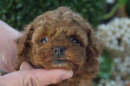 トイプードルの子犬(ID:1231011588)の1枚目の写真/更新日:2021-02-23
