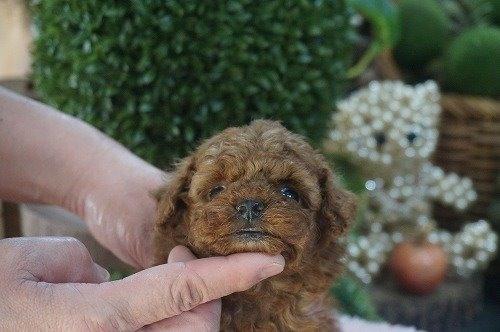 トイプードルの子犬(ID:1231011588)の2枚目の写真/更新日:2021-02-23