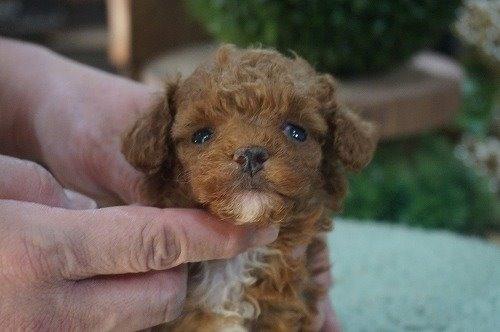 トイプードルの子犬(ID:1231011589)の1枚目の写真/更新日:2021-02-23