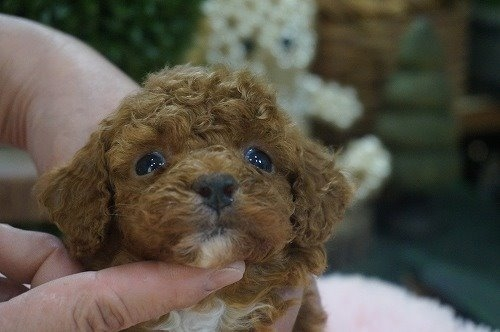 トイプードルの子犬(ID:1231011590)の1枚目の写真/更新日:2021-02-23