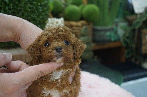 トイプードルの子犬(ID:1231011590)の2枚目の写真/更新日:2021-02-23