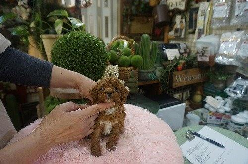 トイプードルの子犬(ID:1231011590)の3枚目の写真/更新日:2021-02-23