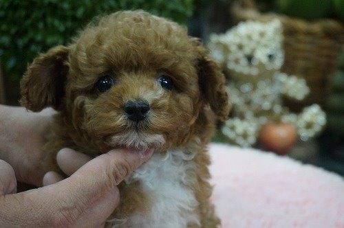 トイプードルの子犬(ID:1231011591)の1枚目の写真/更新日:2021-03-23