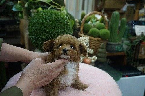 トイプードルの子犬(ID:1231011591)の2枚目の写真/更新日:2021-03-23