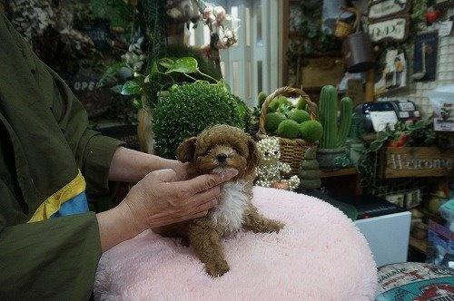 トイプードルの子犬(ID:1231011591)の3枚目の写真/更新日:2021-03-23
