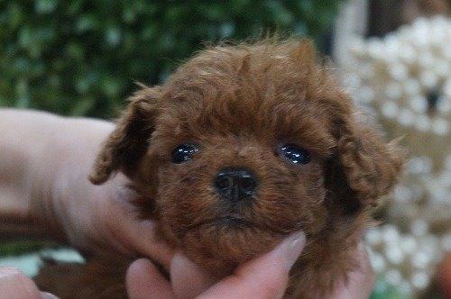 トイプードルの子犬(ID:1231011595)の1枚目の写真/更新日:2021-04-01