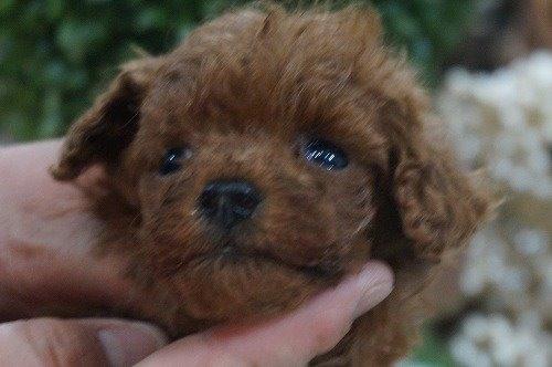 トイプードルの子犬(ID:1231011595)の2枚目の写真/更新日:2021-04-01